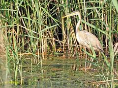 Joven de Garza imperial (Ardea purpurea) (6) (eb3alfmiguel) Tags: aves zancudas acuaticas ciconiiformes ardeidae joven de garza imperial ardea purpurea