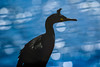 The Fence (Andy Wakefield Photography) Tags: farneislands northumberland seabirds shag bokeh