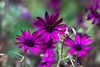 Vivant. (Canad Adry) Tags: pentacon auto multicoated 50mm f18 m42 macro flower fleur color bokeh painting three triple purple couleur vintage old classic legacy prime manual german lens nature close focus plant life