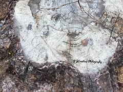 Stump iSmile. (Jack4Phil) Tags: wood smile outdoors stump tree