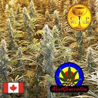 Island_Sweet_Sku_4d6589ffe94b2 (Watcher1999) Tags: super skunk mango cannabis seeds lemon feminized regular medical marijuana growing weed smoking ganja legalize it