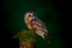 Tawny Owl at Night (www.andystuthridgenatureimages.co.uk) Tags: tawny owl perch perched post moss night dark woods woodland scottish nature hides hide