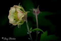'WILD FLOWERS' - 'RAILWAY WALK' (tonyfletcher) Tags: wildflower flower springflower woodlandwalk nikond3300 ringflash nikkor40mmf28micro tonyfletcher wwwtonyfletcherphotographycouk wwwwhitbygothscenecouk railwaywalk grosmont goathland grosmonttogoathlandwalk