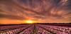 Lines of Colour. (Alex-de-Haas) Tags: 11mm adobe blackstone d850 dutch hdr holland irix irix11mm irixblackstone lightroom nederland nederlands netherlands nikon nikond850 noordholland photomatix asparagaceae beautiful beauty bloem bloemen bloementeelt bloemenvelden cirrus floriculture flower flowerfields flowers hyacint hyacinten hyacinth hyacinths hyacinthus hyacinthusorientalis landscape landschaft landschap lente lucht mooi polder skies sky spring sun sundown sunset zonsondergang