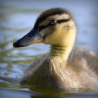 Eye to eye duckling