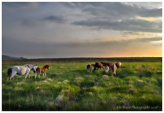 Wild horses trek home (awardphotography73) Tags: nikon welsh britain cymru southwales colours sunset breconnationalpark brecon wilderness nature horseriding wildhorses wildhorse wild