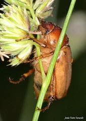 Rhizotrogus sp. GBA01 (Jesús Tizón Taracido) Tags: insecta coleoptera polyphaga scarabaeiformia scarabaeoidea melolonthidae melolonthinae rhizotrogini rhizotrogus
