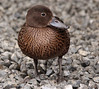 Zealandia: Pateke duck foraging under Kaka feeder (Alastair Smith) Tags: zealandia