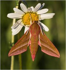 Elephant Hawk Moth (Antony Ward) Tags: moths elephanthawkmoth wheldrakeings englishnature