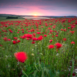 Windy Poppies at Sunrise