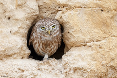 Little owl (Dave 5533) Tags: bird birdofprey owl owls littleowl nature outdoor wild birdwatching canon1dx animal canonef300mmf28 canon300mmf28 canonextender2xiii wildlifeinisrael wildlifephotography birdsphotography birdsinisrael animalplanet