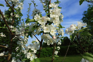 Apple trees in blossom_2018_05_23_0007