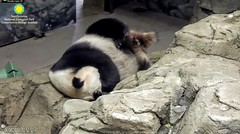 2018_06-08b (gkoo19681) Tags: meixiang beautifulmama sopretty proudmama adorableears fuzzywuzzy feetsies naptime covering toobright comfy toocute amazing perfection precious sleepingangel meltinghearts curledup ccncby nationalzoo