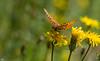 Schmetterling (roland_lehnhardt) Tags: schmetterling butterfly makro tiere insekten animals grosaufnahme nahaufnahme natur canon eos60d ef100mmf28macrousm