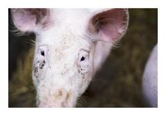 _K000504 (Jordane Prestrot) Tags: ♊ jordaneprestrot tempsquotidien ungersheim écomusée cochon pig cerdo cerdito cochonnet piggy