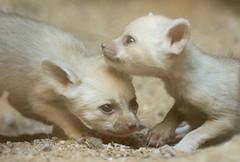 fennec artis BB2A0412 (j.a.kok) Tags: fox vos fennek fennec woestijnvos dessertfox artis animal africa afrika canine mammal zoogdier dier predator