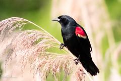 Red wing Black bird (mayekarulhas) Tags: philadelphia pennsylvania unitedstates us red bird blackbird canon canon7dll johnheinznaturereserve