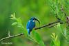 Eisvogel (thomasmartin81) Tags: eisvogel frankreich natur petitecamargue saintlouis grandest fr