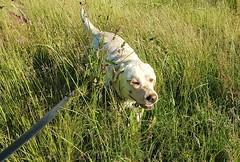 Gracie pushing through the long grass (walneylad) Tags: gracie dog canine pet puppy lab labrador labradorretriever cute june spring evening eastviewpark westlynn