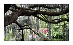 Le cèdre bleu pleureur de l'Atlas -2- (Jean-Louis DUMAS) Tags: cèdre arbre arboretum parc nature paysage landscape tree bois ciel forêt pelouse champ