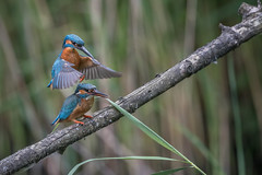 R18_7939 (ronald groenendijk) Tags: cronaldgroenendijk 2018 rgflickrrg alcedoatthis animal bird birds copyrightronaldgroenendijk europe groenendijk holland ijsvogel kingfisher martinpecheur nature natuur natuurfotografie netherlands outdoor ronaldgroenendijk vogel vogels wildlife