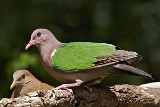 Emerald Dove - Chalcophaps indica.  Male - 23-28cm.