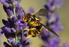 Wasp (Stei&Helvi) Tags: wasp guêpe bee insect insecte macro sony alpha flore floral lavande lavender faune wildlife spring summer nature