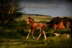 Shire prince (PentlandPirate of the North) Tags: shire horse foal horses equus beautiful baby colt