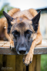 Sky - Berger Malinois (pilou.basco) Tags: chien dog compagnie company compagnon ami friend best meilleur animal shepperd belgian berger belge canon eos 6d 50mm france french 2018 exterieur outdoor
