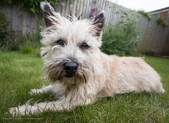 Wide-angle portrait (kimbenson45) Tags: cairnterrier ivy animal black closeup differentialfocus dog furry garden green outdoors pet shallowdepthoffield white wideangle