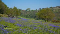 English Landscape (Suri Singh) Tags: summer england europe landscape landscapephotography bluebells scenery travel catchycolors