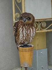 DSC07637 (guyfogwill) Tags: 2018 birds boobookowl brandonsbirthday devon gbr guyfogwill may owls paignton unitedkingdom paigntontorquay