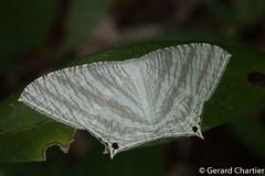 Micronia aculeata (GeeC) Tags: animalia arthropoda butterfliesmoths cambodia geometroidea inchwormmoths insecta kohkongprovince lepidoptera micronia microniaaculeata nature swallowtailmoths tatai uraniidae
