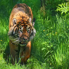 Eye on the target. (MSGS4) Tags: foot cork ireland tiger up for it fotawildlifepark
