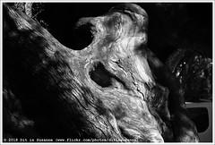 Olijfboom | Olive tree | Олива (Dit is Suzanne) Tags: 09112017 img1938 spanje spain испания balearen balearicislands балеарскиеострова illesbalears islasbaleares majorca mallorca мальорка ©ditissuzanne canoneos40d tamron18200mmf3563diiivc herfst autumn осень palmademallorca пальмадемальорка wandeling walk прогулка дерево олива olijfboom boom tree olivetree чернобелый zwartwit blackandwhite views100