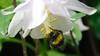 Bee On Aquilegia (Deb Simpkins) Tags: bee bumble insect nature pollen white flower wildlife garden flitwick bedfordshire spring 2018 petals stamen aquilegia nikon coolpix l840 closeup macro head antenna legs