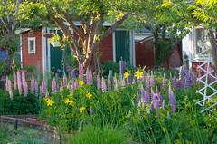 Garden (RdeUppsala) Tags: uppland uppsala koloniträdgård tunakolonin garden jardín trädgård blommor flores flowers lupiner lupinos ricardofeinstein lupines plantas plants växter spring vår primavera