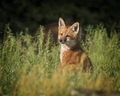 Soaking up the Morning Sun... (DTT67) Tags: redfoxkit fox foxkit kit redfox mammal animal nature nationalgeographic wildlife maryland canon 1dxmkii 500mmii 14xtciii canon1dxmkii