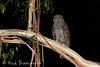 Powerful Owl female (ʘwl) Tags: powerfulowl owl victoria australia wildlife canon eos 5d mark iv night 400mm f4 do is usm eucalyptus branch bark ii