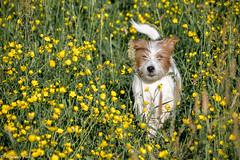 Sara. Early in the morning. 22/52 (Tõnno Paju) Tags: sara 52weeksfordogs dog animal pet jack russell terrier nikon nikkor grass flowers sunshine