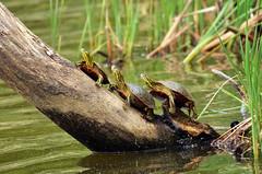 Western Painted Turtles (U.S. Fish and Wildlife Service - Midwest Region) Tags: 2018 nature mn turtle may seasons minnesota paintedturtle reptile spring wildlife animal