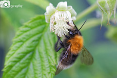 Tree Bumblebee (Mike House Photography) Tags: bumble bee bumblebee tree garden woodland outdoor raspberry plant bush raspberries wings bugs insects pollination antenna antennae buzz busy bees fruit seed pollen anther stigma ovum filament