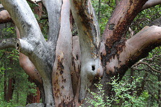 These madrones were huge in this grove