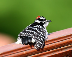 Pic mineur - Downy Woodpecker (Rayladur) Tags: picmineur downywoodpecker valdor abitibi raymondladurantaye rayladur