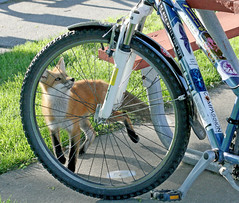 Ride Your Bike... (marylee.agnew) Tags: red fox bike wildlife nature outdoor wheels kit cute curious sun summer young