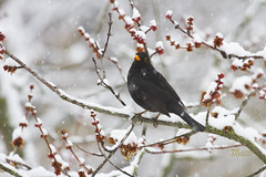 _MG_9048 (Foto Massimo Lazzari) Tags: revisione fotomassimolazzari bird inverno neve