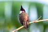 Perched on a Branch (Subash BGK) Tags: araku bulbul redwhiskeredbulbul