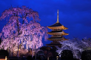【京都景點。廟宇神社】東寺夜櫻夜景