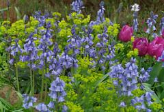 IMGP2547 (mattbuck4950) Tags: england unitedkingdom europe gardens unidentifiedplants lenssigma18250mm photosbymatt may bluebells tulips camerapentaxk50 watford 2018 cassioburyparkavenuewatford gbr