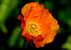 Welsh Poppy Meconopsis cambrica (Joan's Pics 2012) Tags: welshpoppy windblown selfseeded orange bright cheerful inthegarden yellowcentre wildflower explore